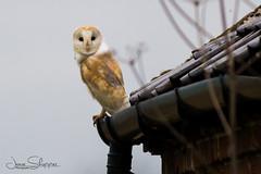 In the Gutter (jammo s) Tags: barnowl tytoalba owl wildowl wildbarnowl bird birdofprey wildbird barn gutter watching nature wildlife norfolkbarnowls lightroom canoneos80d canonef400mmf56lusm