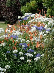 Perfect Colour Combination (mikecogh) Tags: richmond tasmania colours colors combination complementary agapanthus redhotpokers purple white orange