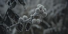 frozen nature 7905 (s.alt) Tags: nature natureunveiled frost winter ice rauhreif cold kalt morgen eiskristall kristallförmig vereist niederschlag hoarfrost whitefrost rime frostyrime frozen detail icecrystal frozennature macro blatt frosted
