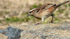 meadow bunting ホオジロ メス female bird japan fz70