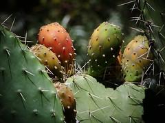Figues de Barbarie (beatricechapillon) Tags: figue de barbarie fruit cactus