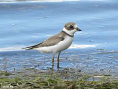 (Sarah-Vie) Tags: pluvier img4984 limicole semipalm oiseauduqubec