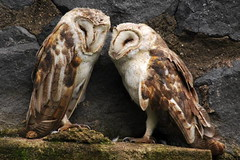 Tyto alba DT [I Parque Condor] (3a) (Archivo Murcilago Blanco) Tags: alba strigiformes lechuza tyto tytonidae tirira diegotirira archivomurcielagoblanco
