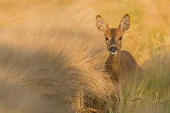 Roe Deer doe (Wouter's Wildlife Photography) Tags: summer nature animal mammal wildlife doe deer explore roedeer billund rådyr pattedyr