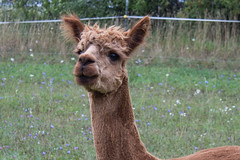 The Alpaca Named Jack (marylea) Tags: summer vacation alpaca animals expression michigan farm explore friendly curious familyvacation ludington 2015 alpacafarm aug24 explored scottville