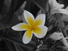 Frangipani (ShimmyGraphy) Tags: flower frangipani blume blüte colorkey schwarzweis colourkeying shimmygraphy