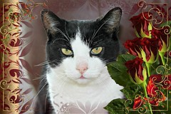 Charles Framed With Red Roses 004 (Chrisser) Tags: cats ontario canada nature animal animals cat ourcatcompanions crazyaboutcats kissablekat kissablekats bestofcats kissablekitties kissablekitty loonapix canoneosrebelt1i bicolouredshorthaired canonefs60mmf28macrousmprimelens