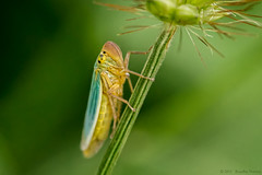 colorful insect (Rose-LlyodeLays) Tags: green yellow cyan multicolor insetto
