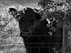 Sun-glo (mark.griffin52) Tags: england blackandwhite countryside cow cattle bullock livestock hertfordshire beltedgalloway pitstonehill