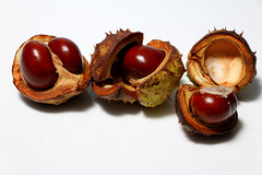Conkers (Crisp-13) Tags: autumn horse fall shell chestnut conker aesculus hippocastanum