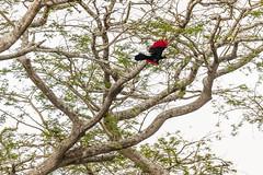 Ross's turaco (elebe.foto) Tags: uganda rosssturaco musophagarossae lakemburonp rossturako