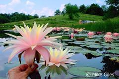 FairySkirt6 (Waterlelie.be) Tags: skirt fairy westvirginia nymphaea fairyskirt verenigdestatenvanamerika noordamerika mikegiles nymphaeafairyskirt