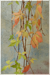 them changes (PIKTORIO) Tags: autumn berlin fall nature leaves wall germany foliage urbannature hanging transitions colorchange piktorio