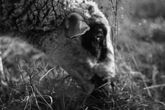 DSC04209 (gabriella.lavati) Tags: bw hungary bokeh sony m42 lamb manual kelebia 50mmf18 helios77m nex5