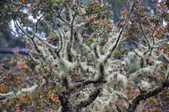 Lichen on Oak Trees (ngawangchodron) Tags: canada bc victoria vancouverisland royalroadsuniversity colwood sun18oct