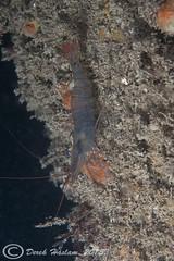 Common prawn.Trefor pier night dive. (hsacdirk) Tags: macro wales night pier north diving menai d3 trefor