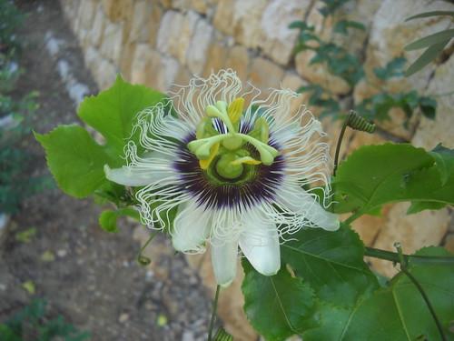Passion Fruit still Flowering a Oct 12, 2015
