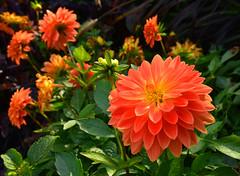 7499 Dahlie, dahlia. (Fotomouse) Tags: dahlia flowers orange plant flower garden flickr blossom outdoor blossoms pflanze blumen blume blte garten draussen blten dahlie dahlien fotomouse
