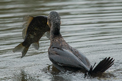 A little too big!! (fire111) Tags: wild fish bird big birding waterbird carp cormorant too aalscholver karper