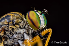 Robber Fly (Asilidae) - Taracticus octopunctatus (Karlgoro1) Tags: canon eos 7d macro photo mpe 65mm f28 eye eyes zerene stacker insect focus stack closeup bug head fly macrolife color animal depth field bright black background explored robber asilidae taracticus octopunctatus