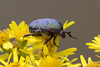 Olivegreen Flower Chafer (Protaetia cuprea) (macronyx) Tags: nature insect wildlife beetle insects insekt chafer insekter skalbagge protaetia guldbagge flowerchafer protaetiacuprea olivegreenflowerchafer olivgrönguldbagge