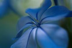 plumbago (laura sinapi) Tags: flower bokeh fiore plumbago