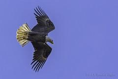Bald Eagle overhead IMG_6322 (ronzigler) Tags: bird nature canon eagle 14 bald raptor avian birdwatcher 420mm 300mmf4l