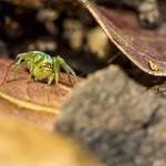 Araniella Cucurbitina thumbnail