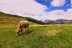 Eating (Salva Pags) Tags: mountain verde green cow eating country montaa muntanya vaca verd comiendo valldaran menjant