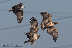 3-Way (Bald Eagles) (Mitch Vanbeekum Photography) Tags: wild 3 fish three fishing md adult wildlife baldeagle maryland prey juvenile eagles conowingo conowingodam canonef500mmf4lisiiusm canoneos1dx canon14teleconvertermkiii mitchvanbeekum