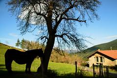 DSC_8630 (adrizufe) Tags: autumn horses nature animals ilovenature nikon ngc otoo basquecountry arrazola udazkena atxondo durangaldea nikonstunninggallery aplusphoto d7000 adrizufe adrianzubia