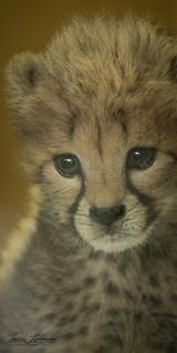 9 Week Old Cheetah Cub