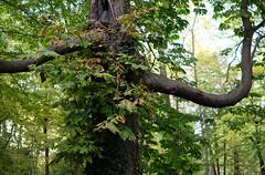 Rima Dadenji, I found a Hayao Miyazaki spirit tree, 2016 (Rima Dadenji) Tags: nature green trees tree forest woods permaculture ecoforestry agroforestry fuji fujifilm fujifilmxt10 rimadadenji