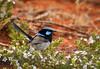 024A8829 (scepdoll) Tags: australianbirds cranbourne royalbotanicgardens victoria birds wren superbfairywren male