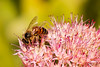 Bee-ing Busy (Back Road Photography (Kevin W. Jerrell)) Tags: bees insects thingsthatfly frontyardphotography nikond60 nature pink prettyinpink naturalbeauty summer macrolife closeups macro