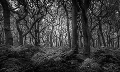 What's lurking in the woods? (Ian Emerson) Tags: woodland forest trees trunks moss fern autumn rocks blackwhite canon outdoor derbyshire peakdistrict
