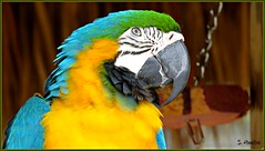 Parrot (Suzanham) Tags: subtropical exotic parrot florida evergladesalligatorfarm everglades tropical