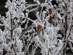 Zúzmarás levél (A. Meli) Tags: zúzmaráslevél zúzmara zúzmarás zúzmaráságak ágak fa faág tél természet télen növény winter january nature natur outdoor drausen január szabadban imwinter imfreien äste ast frosty frostyleaf frostyleaves rimy
