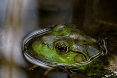 2016 Bull Frog 17 (DrLensCap) Tags: north park village nature center chicago illinois bull frog il animal amphibian robert kramer ngc