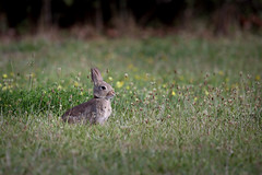Rabbis - European rabbit (gallserud) Tags: gotland sweden rabbis rabbit kanin vildkanin wildlife