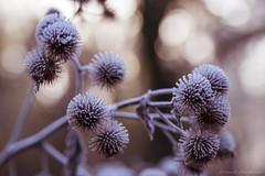 Boules de glace (Hexilene) Tags: nikon nikonpassion nature nikond750 sigma sigma105mm cold macro macrophotographie macrodreams proxy passion plante proxi