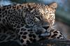 persian leopard Beekse Bergen JN6A6070 (j.a.kok) Tags: panter panther perzischepanter persianleopard pantherapardussaxicolor predator roofdier zoogdier mammal kat cat azie asia iran beeksebergen