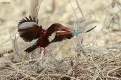 White-throated kingfisher (Dave 5533) Tags: whitethroatedkingfisher wild nature animal bird inflight kingfisher canoneos1dx sigma150600mmf563dgoshsm|s naturephotography birds wildlife