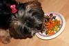 Flo Yorkie Poo Dog Eating Steak Dinner (@oakhamuk) Tags: flo yorkiepoo dog eating steak dinner