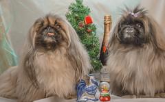 The New Year - Christmas Pekingese (beard174) Tags: flickrunitedaward the new year