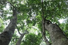Native Crabapple (Schizomeria ovata) (Poytr) Tags: arfp nswrfp qrfp sydneyrainforest warmtemperatearf warmtemperaterainforest smithscreek kuringgaichasenationalpark schizomeriaovata schizomeria cunoniaceae coachwood nativecrabapple outdoor landscape tree forest plant bark trunk