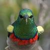 DSC_7241 (mylesm00re) Tags: m africa cinnyrischalybeus kleinrooibandsuikerbekkie nectariniidae sanparks southafrica southerndoublecollaredsunbird westcoastnationalpark westerncape bird