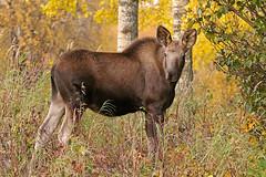 Healthy Looking Moose Calf (AlaskaFreezeFrame) Tags: moose cowmoose moosecalf calf calves baby canon alaska alaskafreezeframe anchorage nature outdoors wildlife 70200mm mammals herbivore animals plants dangerous telephoto water twins