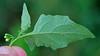 CAD0004395a (jerryoldenettel) Tags: 160916 2016 americanblacknightshade asterids blacknightshade boonesdraw nm nightshade rooseveltco solanaceae solanales solanum solanumnigrum wildflower flower