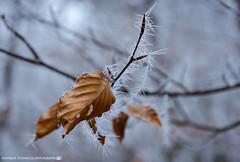 The frozen branch on the side of the path. (andreasheinrich) Tags: nature tree branch leafs winter december afternoon cold frozen germany badenwürttemberg neckarsulm dahenfeld deutschland natur baum ast blätter dezember nachmittag kalt gefroren nikond7000